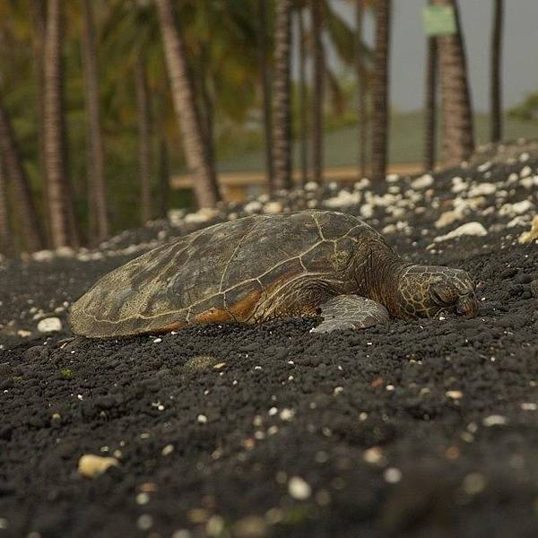 Reptiles Wall Art - Photograph - Kiholo Bay Turtle Rest Area #hawaii by Brian Governale