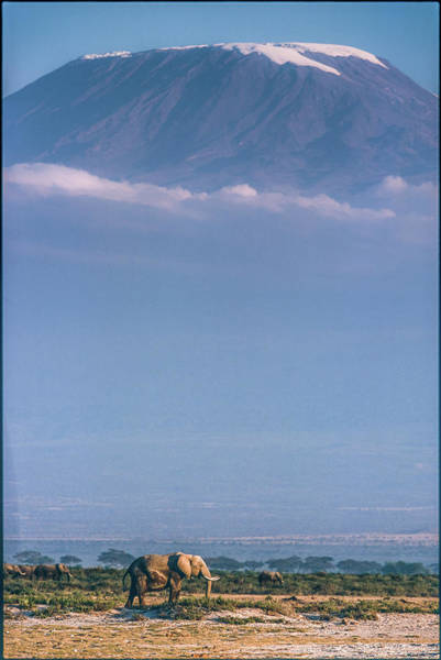 Herd Photograph - Kilimanjaro And The Quiet Sentinels by Jeffrey C. Sink