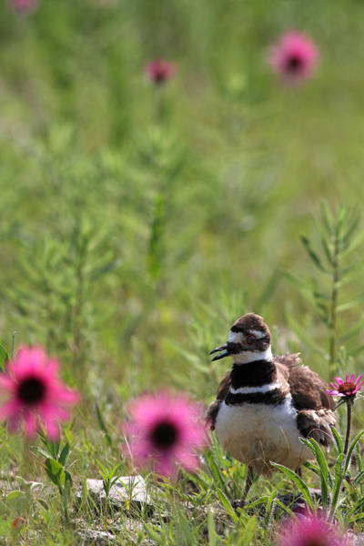 Photograph - Killdeer And Tennessee Coneflowers by Daniel Reed