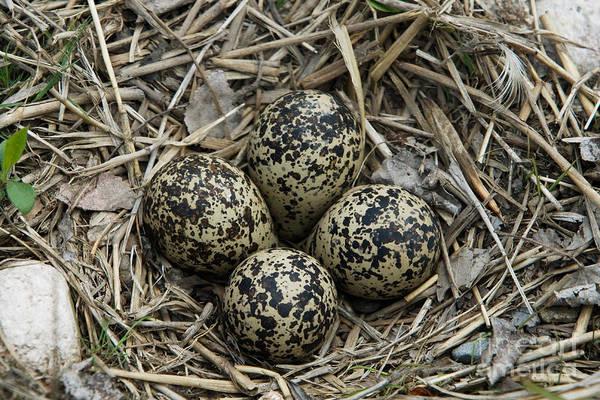 Killdeer Photograph - Killdeer Eggs In Nest by Linda Freshwaters Arndt