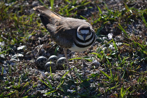 Conyers Photograph - Killdeer Guarding Her Eggs by Tara Potts