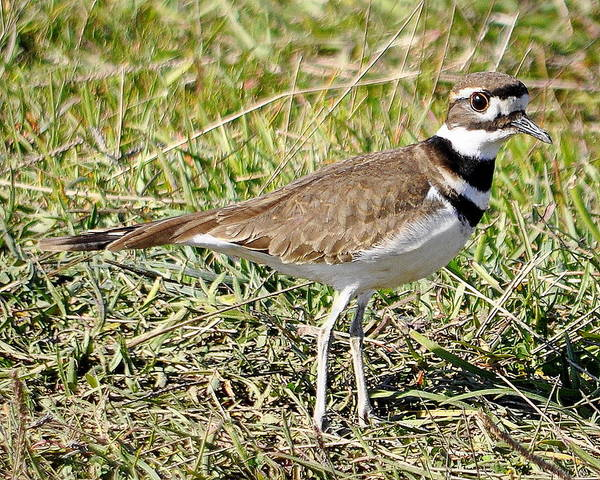 Photograph - Killdeer In The Grass by AJ  Schibig