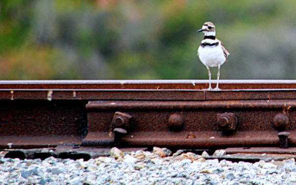 Photograph - Killdeer On The Tracks by AJ  Schibig