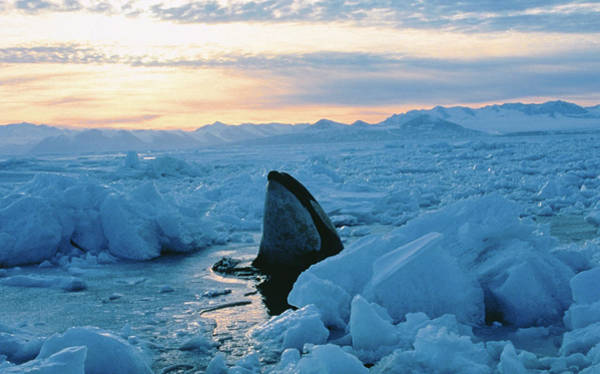 Killing Wall Art - Photograph - Killer Whale Emerging Through Ice by Kerry Lorimer