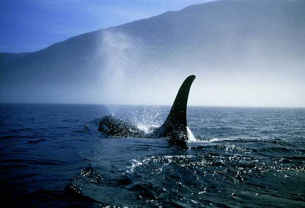 Blowhole Photograph - Killer Whale Fin by William Ervin/science Photo Library