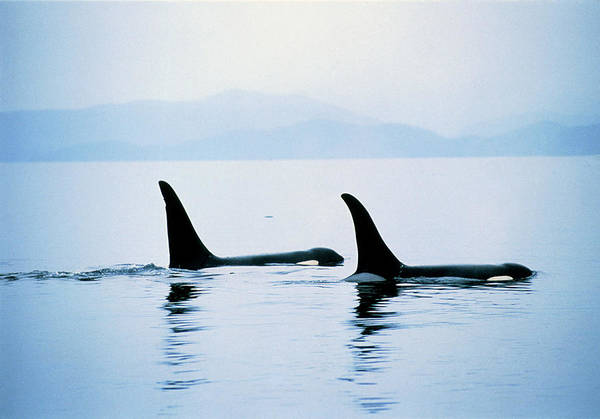 Fins Photograph - Killer Whale Fins by William Ervin/science Photo Library