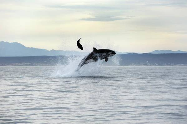 Killer Whales Wall Art - Photograph - Killer Whale Hunting by Christopher Swann