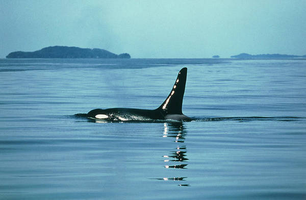 Dorsal Wall Art - Photograph - Killer Whale by Peter Scoones/science Photo Library