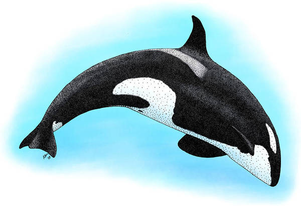 Blackfish Wall Art - Photograph - Killer Whale by Roger Hall