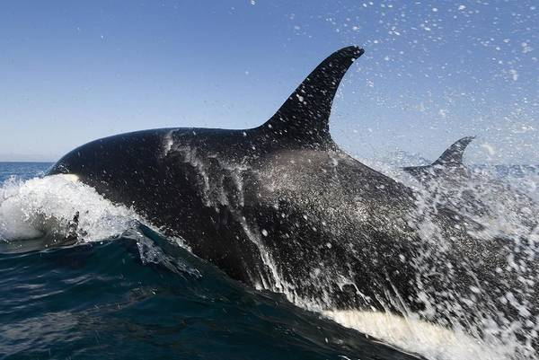 Killer Whales Wall Art - Photograph - Killer Whales Hunting by Christopher Swann
