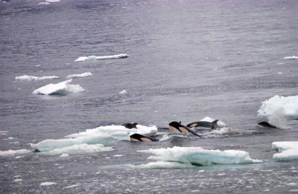 Wall Art - Photograph - Killer Whales Hunting Seal by Robert Hernandez