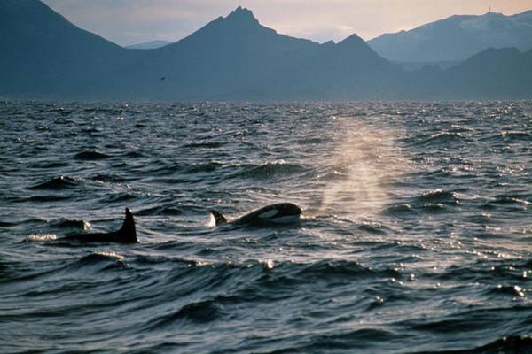 Underwater Scene Photograph - Killer Whales In Sea, Skrova by Christian Aslund