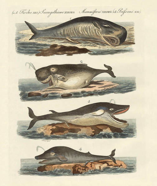 Cachalot Wall Art - Drawing - Kinds Of Whales by Splendid Art Prints