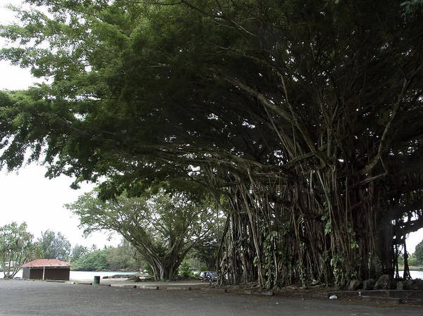 Indian Banyan Photograph - King Banyan Tree Of Hawaii by Daniel Hagerman