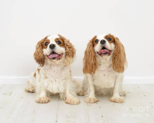 Wall Art - Photograph - King Charles Spaniel Dogs by Amanda Elwell