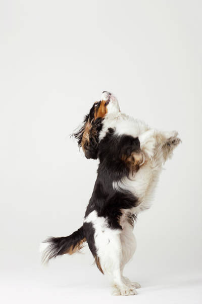 Wall Art - Photograph - King Charles Terrier Standing On Hind by Compassionate Eye Foundation/david Leahy