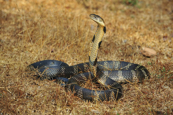 Defensive Photograph - King Cobra Agumbe Rainforest India by Thomas Marent