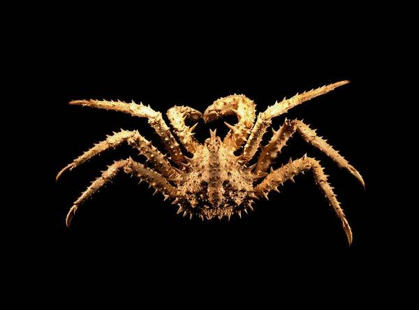 Chela Wall Art - Photograph - King Crab by Science Photo Library