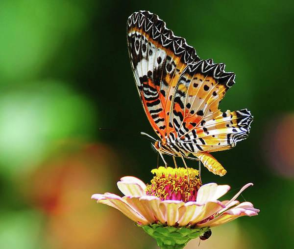 Insect Photograph - King Of Colors by Shakyasom Majumder