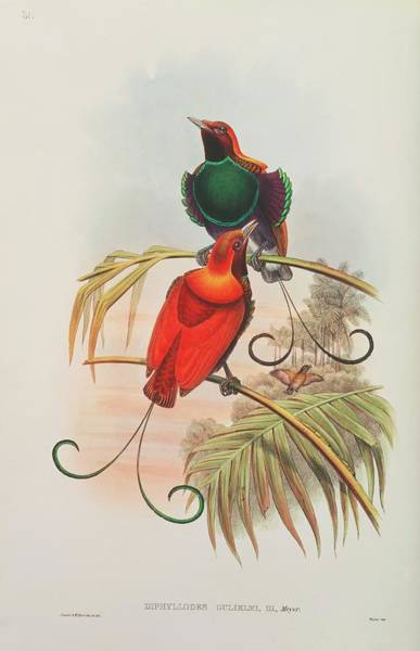 Hand Painted Photograph - King Of Holland Bird Of Paradise by Natural History Museum, London/science Photo Library