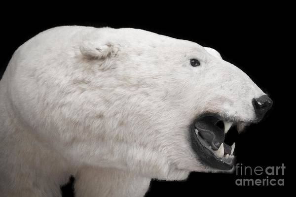 Photograph - King Of The Artic by Jim Lepard