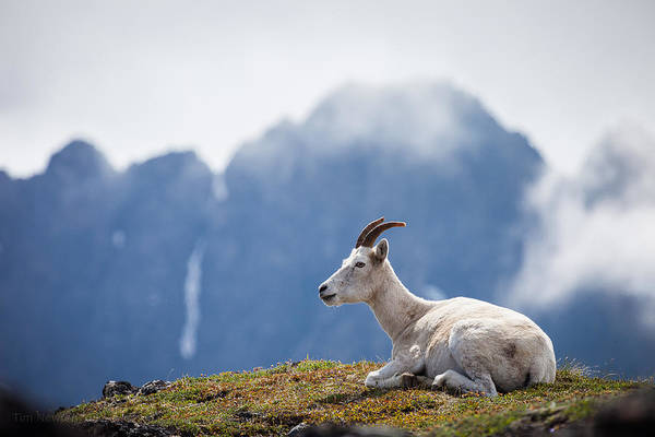 Photograph - Mountain Prince by Tim Newton
