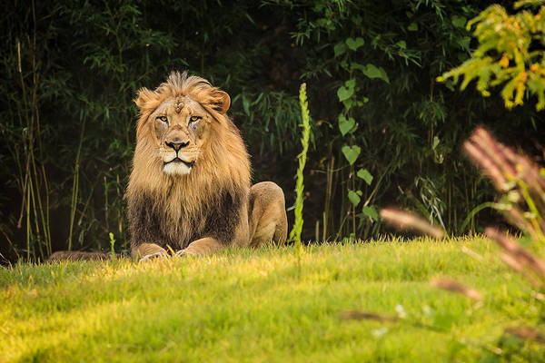 Photograph - King Of The Jungle by Keith Allen