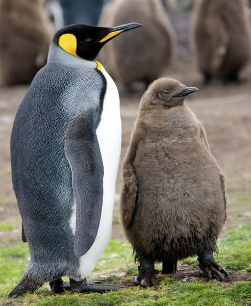 King Penguin Wall Art - Photograph - King Penguin And Chick by Steve Allen/science Photo Library