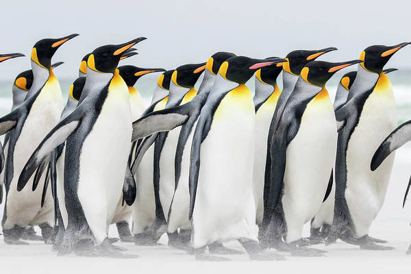Malvinas Wall Art - Photograph - King Penguin (aptenodytes Patagonicus by Martin Zwick