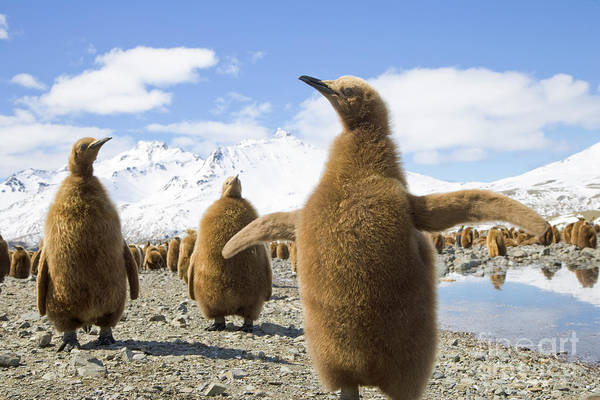 Mp Photograph - King Penguin Chicks South Georgia Island by Yva Momatiuk and John Eastcott