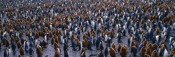 Similar Photograph - King Penguin Colony Salisbury Plain by Panoramic Images