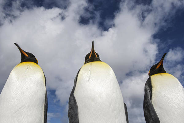 Photograph - King Penguin Trio Falklands by Heike Odermatt
