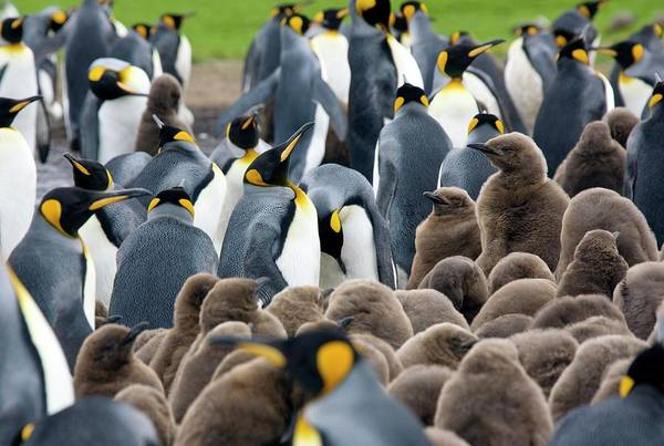 King Penguin Wall Art - Photograph - King Penguins And Chicks by Steve Allen/science Photo Library
