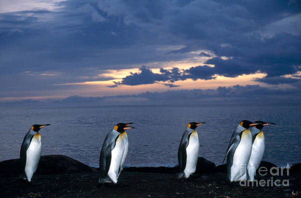 Photograph - King Penguins Aptenodytes Patagonicus by Gregory G. Dimijian, M.D.