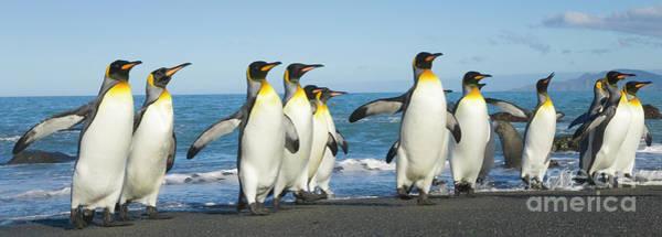 Wall Art - Photograph - King Penguins Coming Ashore Gold Harbour by Yva Momatiuk John Eastcott