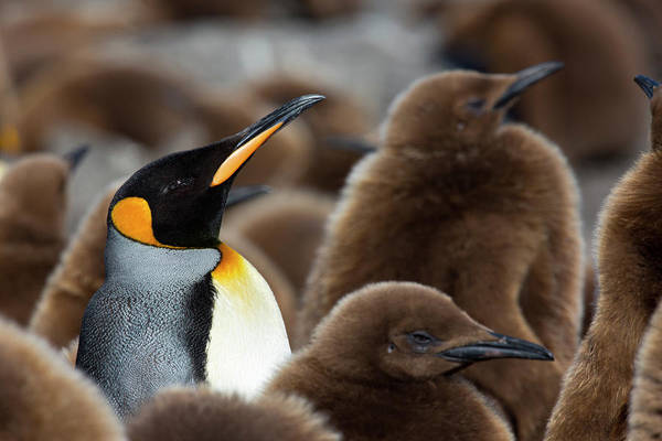 Georgia Photograph - King Penguins Early Spring South Georgia by Darrell Gulin
