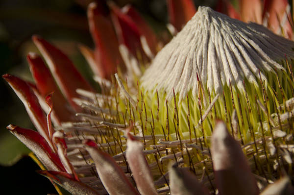 Cactus Flower Photograph - King Protea by Aaron Bedell