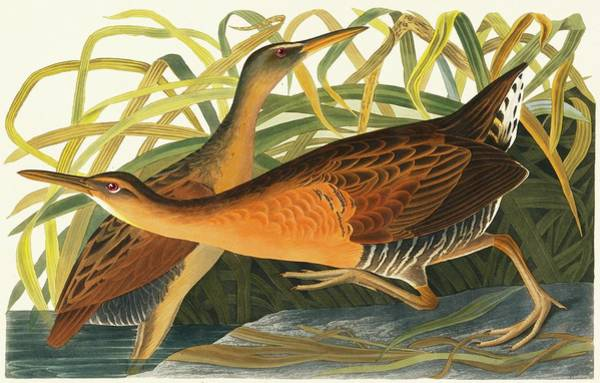 Wall Art - Photograph - King Rail Pair by Natural History Museum, London/science Photo Library
