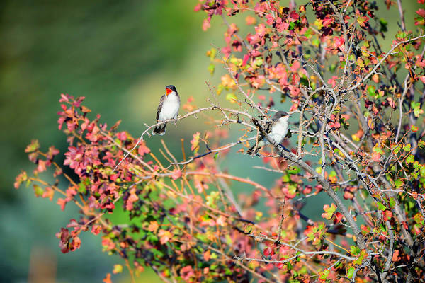 Art Print featuring the photograph Kingbird Pair by Greg Norrell