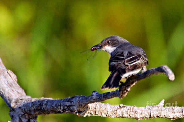 Photograph - Kingbird With Catch. by Larry Ricker
