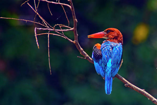 Kolkata Photograph - Kingfisher - King Of Colours by Creativity Has No Limit. An Image Can Tell Million Words.