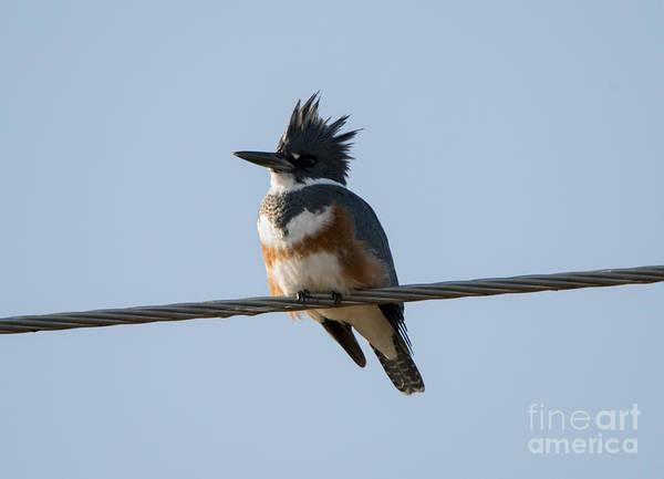 Kingfisher Photograph - Kingfisher Profile by Mike Dawson
