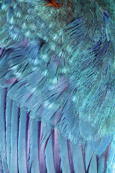 Wall Art - Photograph - Kingfisher Wing Feathers by John Devries/science Photo Library