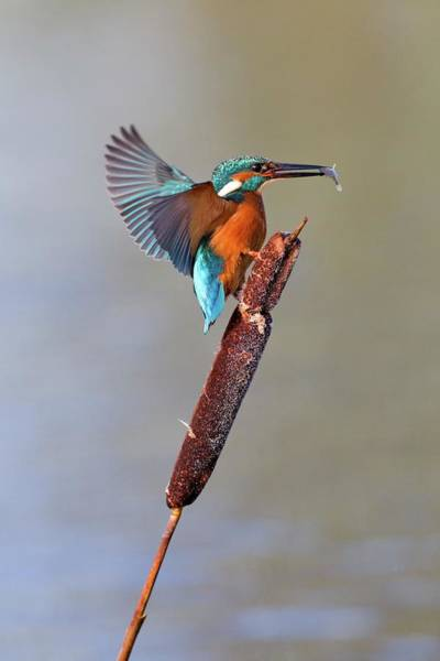 Wall Art - Photograph - Kingfisher With Fish by John Devries/science Photo Library