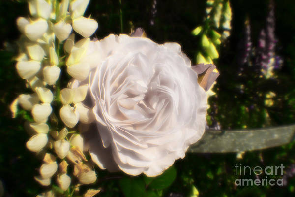 Photograph - Kings White Rose by Doc Braham