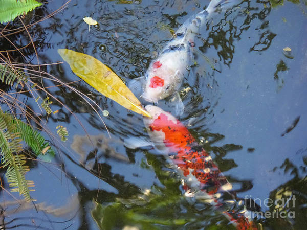 Photograph - Kissin' Koi by HEVi FineArt