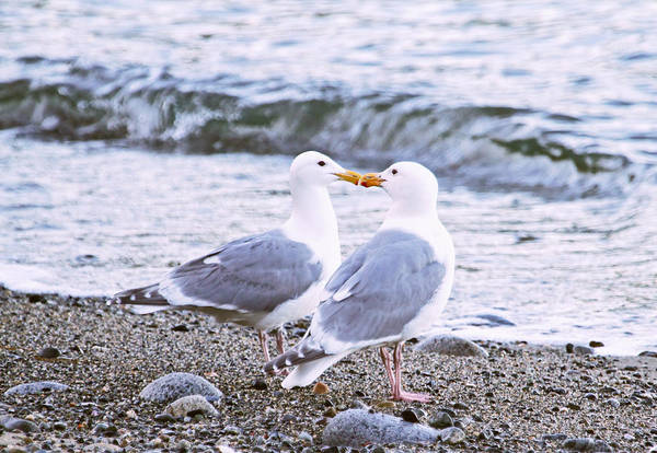 Photograph - Kissing Gulls by Peggy Collins