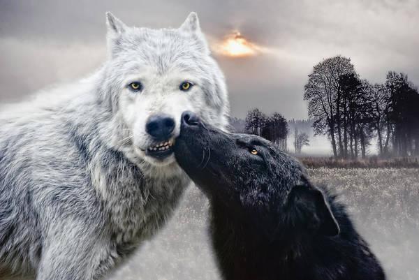 Timber Wolves Photograph - Kissing Wolves by Joachim G Pinkawa