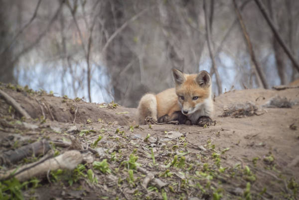 Photograph - Kit Fox 2011-2   by Thomas Young