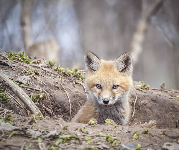 Photograph - Kit Fox 2011-3 by Thomas Young